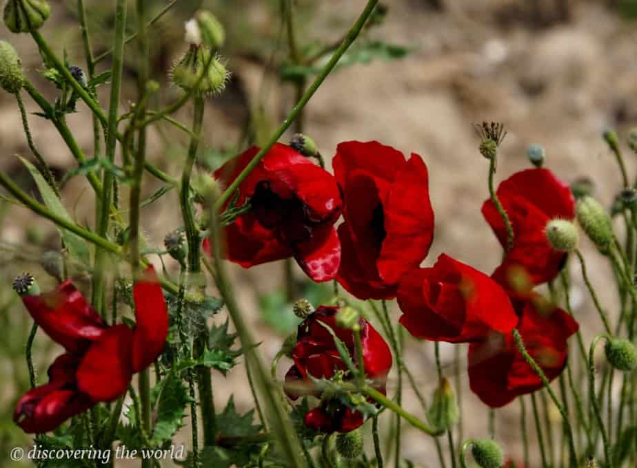 Red poppy blossoms